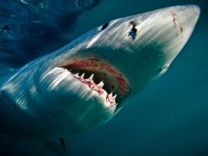 rechin din specia Marele Alb