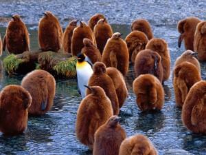 Penguini din rasa Regelui